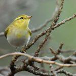 モリムシクイ(Wood Warbler P. sibilatrix)  ー No.2        — 2016.11.1—