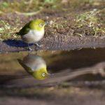 水辺の小鳥たちーエナガ、メジロ、     —2017.1.10—