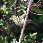 カラフトムシクイ(Pallas's Leaf  Warbler)  —2017.3.1—