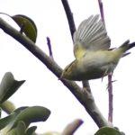珍鳥カラフトムシクイ(Pallas's Leaf  Warbler)  —2017.3.27—