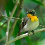 珍鳥?ではなくキビタキ(Narcissus  Flycatcher)の雄若 —2017.4.20—