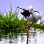 セイタカシギ(Black winged stilt)     —2017.5.30—