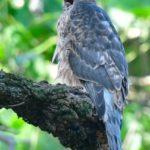 オオタカ(Northern Goshawk) の幼鳥の生育状況   —2017.7.21—