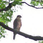 オオタカと川の水鳥(アオサギ、カルガモ、オナガガモ)—2017.7.27—