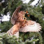 オオタカ(Northern  Goshawk)幼鳥のセミ取り — 2017.8.5—