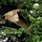 オオタカ(Northern  Goshawk)幼鳥の飛翔 — 2017.8.3—