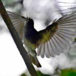 サンコウチョウの羽の数&採餌   —2017.9.20—