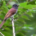 サンコウチョウ(Japanese Paradise Flycatcher)  — 2017.9.19—