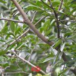センダイムシクイ(Eastern Crown Warbler)        —2017.9.5—