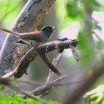 三光鳥(Japanese Paradise Flycatcher)     —2017.9.5—