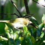 センダイムシクイ(Eastern Crown Warbler)        —2017.9.3—