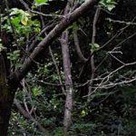 ツミ(Japanese  Sparrowhawk)     —2017.9.14—
