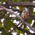 ジョウビタキ(Daurian Redstart)—2017.11.7—