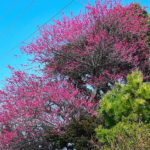 梅の花       —2018.3.4—