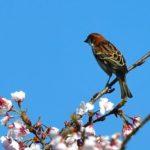 ニュウナイスズメ(Russet Sparrow)♂  —2018.3.25—