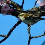 ニュウナイスズメ(Russet Sparrow)♀  —2018.3.26—