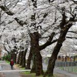 ソメイヨシノが3分〜5分咲き。  —2018.3.23—