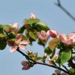 カリン(花梨 Chinese quince) の花 他  — 2018.4.2—