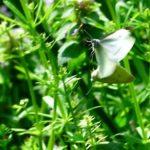 モンシロチョウ(Small Cabbage White)      —2018.4.3—