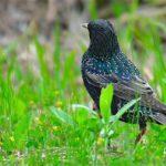 珍鳥ホシムクドリ(Common  Starling)ー舳倉島特集①   —2018.5.18—