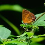 アカシジミ( Orange Hairstreak)       —'18.5.7—