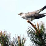 カッコウ(Eurasian Cuckoo)ー舳倉島特集⑤   —2018.15.  —