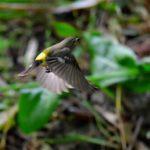 マミジロキビタキ(Yellow-Rumped Flycatcher) 雄雌成鳥-舳倉島特集-11 —2018.5.12—