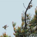 イスカ(Common Crossbill)-舳倉島特集-13 —2018.6.2—