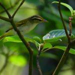 センダイムシクイ(Eastern Crowned Warbler)   —2018.9.17—
