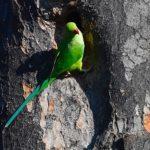 ワカケホンセイインコ(Rose ringed Parakeet)   その他   —2018.10.29—