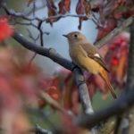 ジョウビタキ(Daurian  Redstart)  他    —2018.11.15—