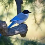 オナガ(Azure-winged Magpie)  他           —2019.1.5—