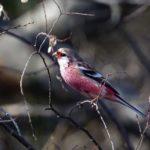 ベニマシコ(Long-tailed Rosefinch) &アリスイ—2019.2.21—-