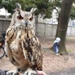 ベンガルワシミミズク(Indian eagle-owl)                —2019.2.24—