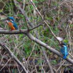 カワセミ(Common Kingfisher)             —2019.3.20—