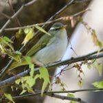 センダイムシクイ(Eastern Crowned Warbler)   —2019.4.13—