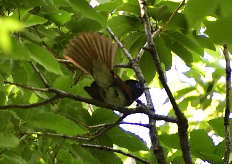 サンコウチョウ(Japanese Paradice Flycatcher)