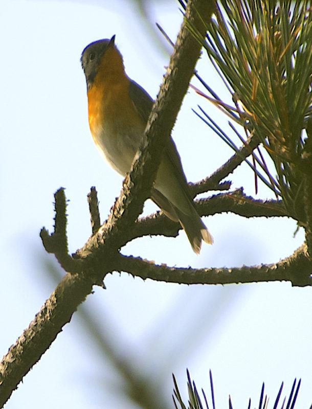 ムギマキ(Mugimaki Flycatcher)