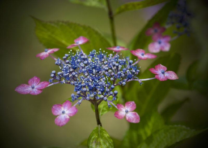 紫陽花の競演
