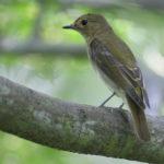キビタキ(雌)-秋の渡り