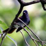 サンコウチョウ(Japanese Paradise Flycatcher)ー初秋の南への渡り