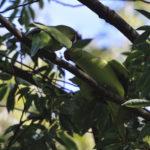 ワカケホンセイインコ(Rose- ringed Parakeet)