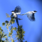 オナガ(Azure-winged Magpie)