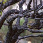 冬の小鳥たちーアオジ、ルリビタキ-雌、ウグイス、シジュウガラ