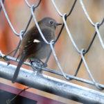 ジョウビタキ(Daurian Redstart)雌