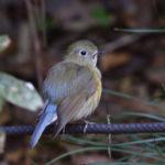 ルリビタキ雌(Red-flanked Bluetail)