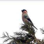 ウソ(Bullfinch)