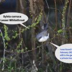 珍鳥-コノドジロムシクイ(Lesser Whitethroat)