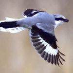 超珍鳥オオカラモズ(Chinese Grey Shrike    — 大唐百舌)