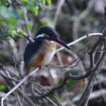 カワセミ(Common Kingfisher)